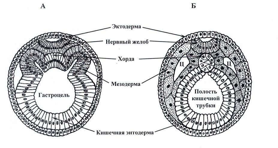 Изучаем биологию Контрольная работа по теме Эмбриогенез  Жду ваших ответов