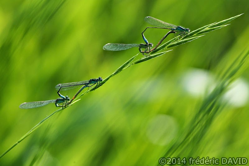 nature insecte demoiselle libellule agrion parade marais Episy Seine-et-Marne