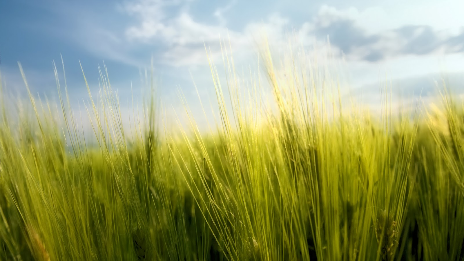 Wheat wallpaper - beautiful desktop wallpapers 2014