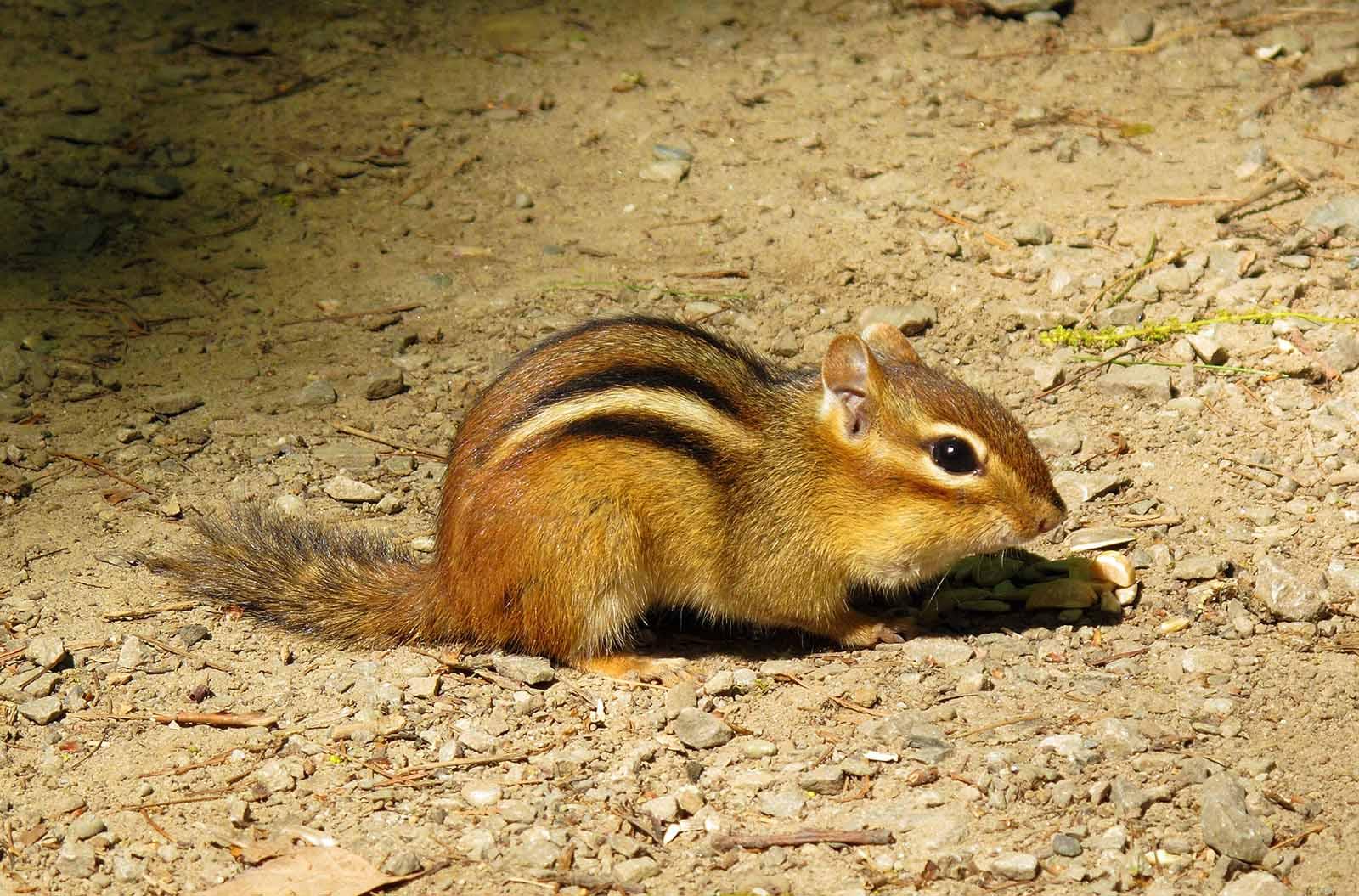 Chipmunks | Fun Animals Wiki, Videos, Pictures, Stories