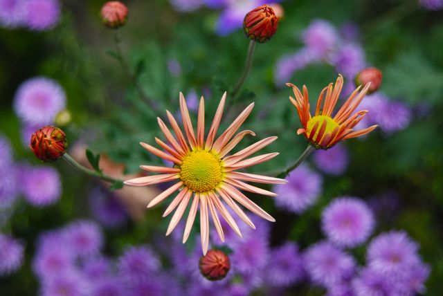 Perennial mum Dendranthema 'Sheffield Pink' and double purple Aster hybrida 'Peter III'.