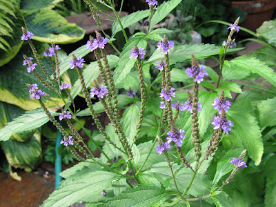 Vervain (Verbena Officinalis) Overview, Health Benefits, Side effects