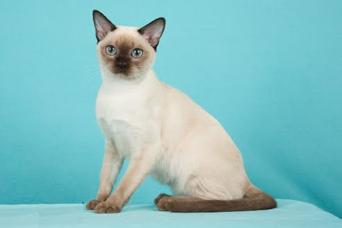 How to Care for Tonkinese