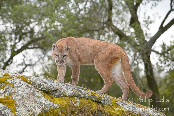 wolf run cougars personals Cougars are slender as unlike smaller / slighter canids which would likely kill via multiple hit and run attacks, the wolf can deliver a single devastating bite.