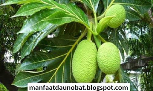 manfaat khasiat daun sukun