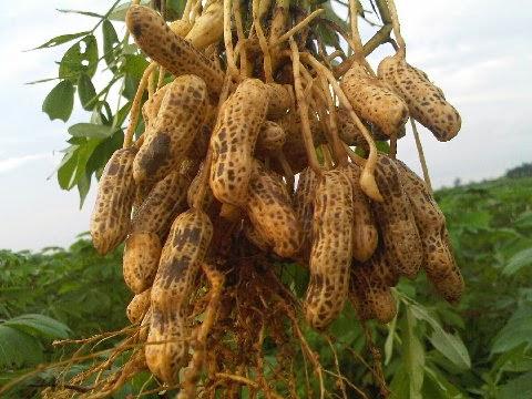 10 Manfaat Kacang Tanah Untuk Kesehatan dan Kecantikan