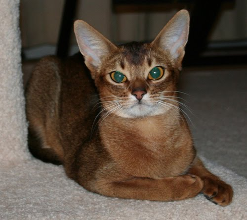 Encyclopedia of Cats Breed: Ruddy Abyssinian Cat | Tawny or Usual | Usual Abyssinian Kittens