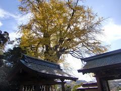 荏柄天神社のイチョウ