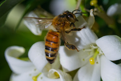 A Bee settled on a Jasmine