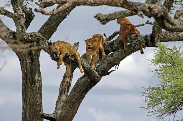 Buy wallart of Tree Lions