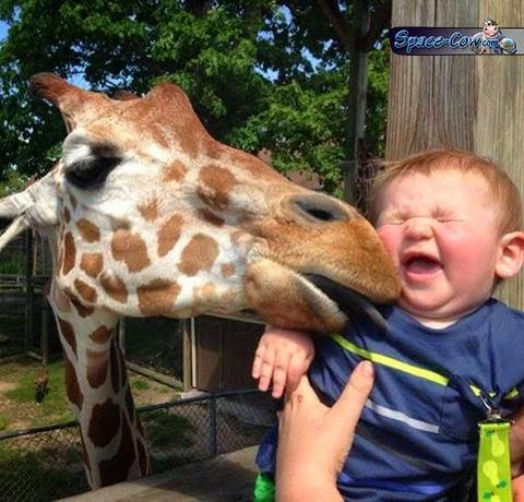 funny cute giraffe picture