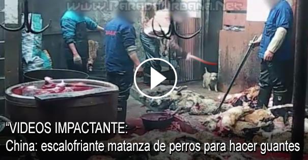 IMPACTANTE - China: escalofriante matanza de perros para hacer guantes