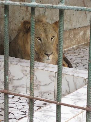 León del zoo de Dakar