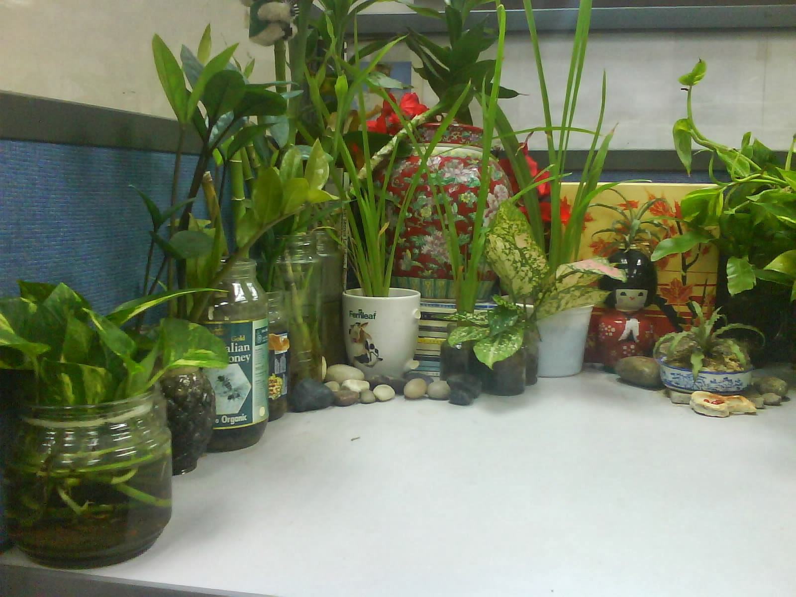 Garden chronicles indoor plants office cubicle for Office plants no natural light