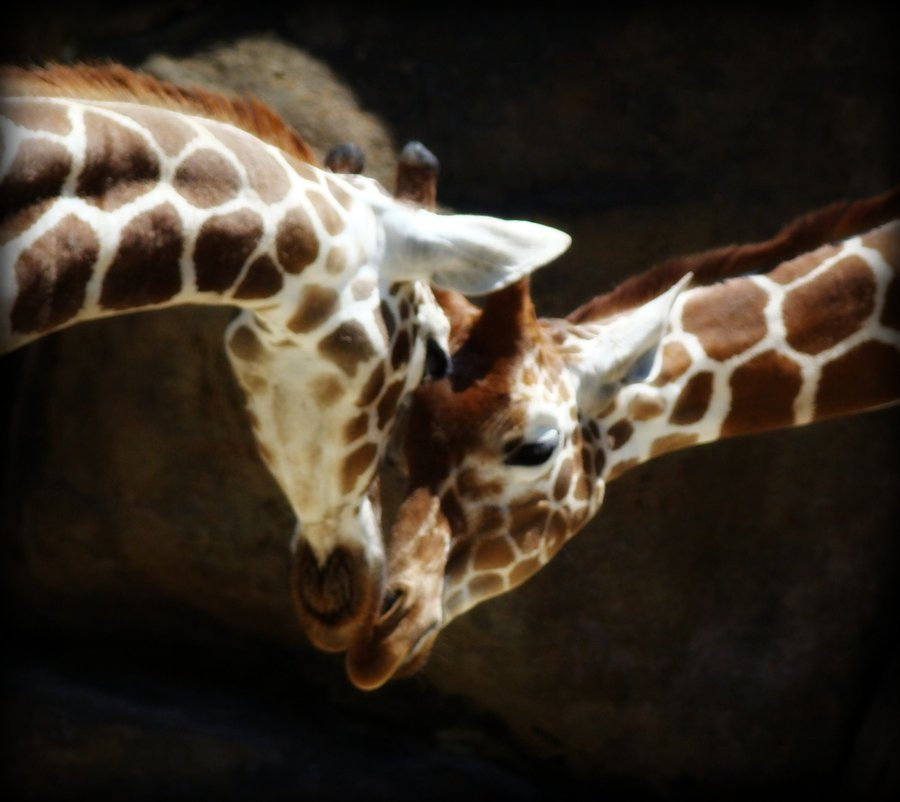 Giraffes In Love Rules of the Jungle: T...