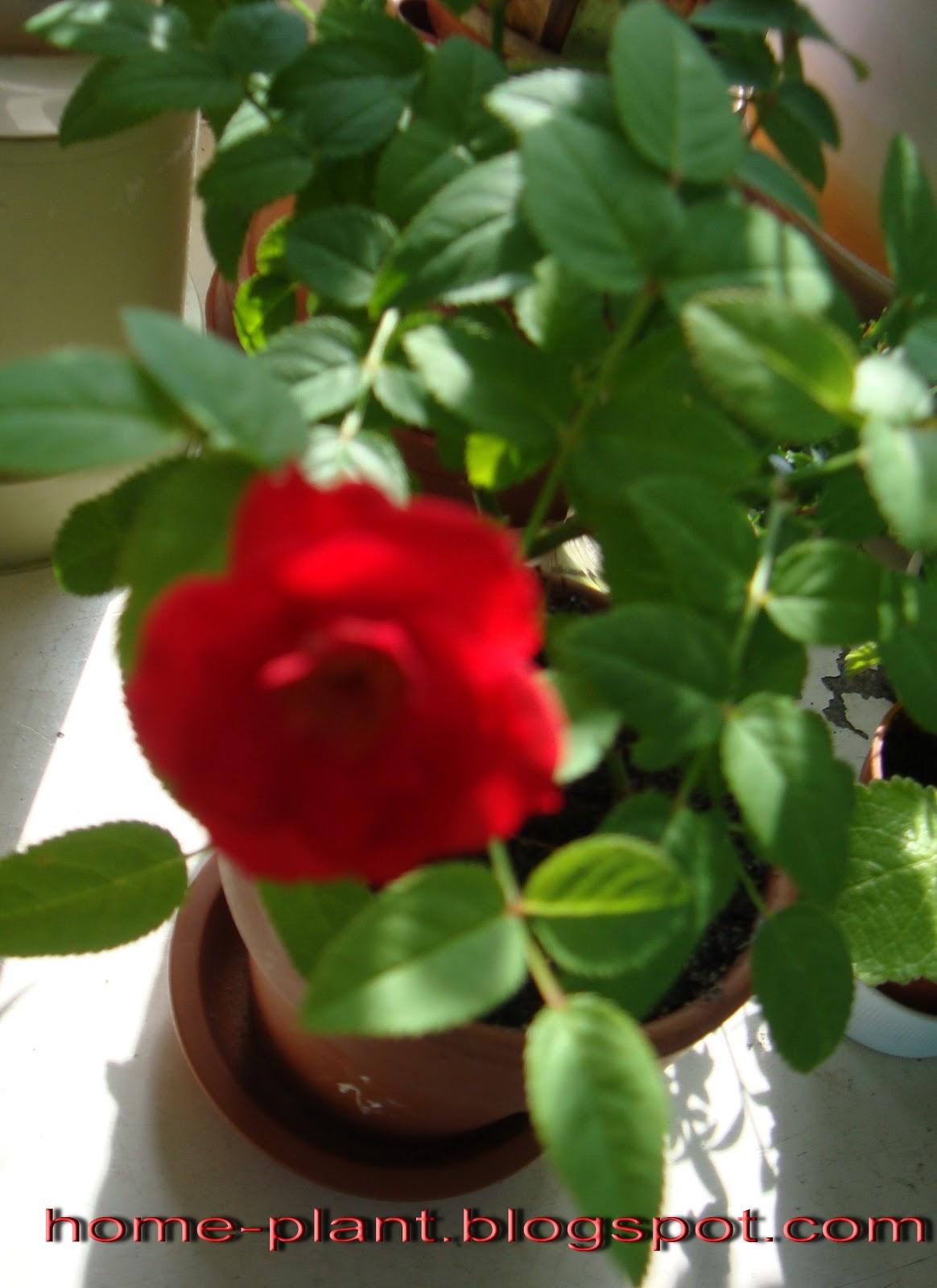 Комнатный цветок как роза фото