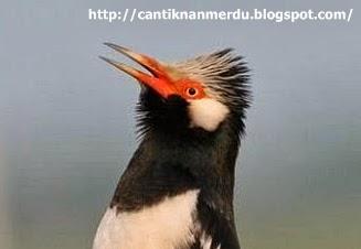budidaya burung burung jalak suren jawa lokal dan sumatra