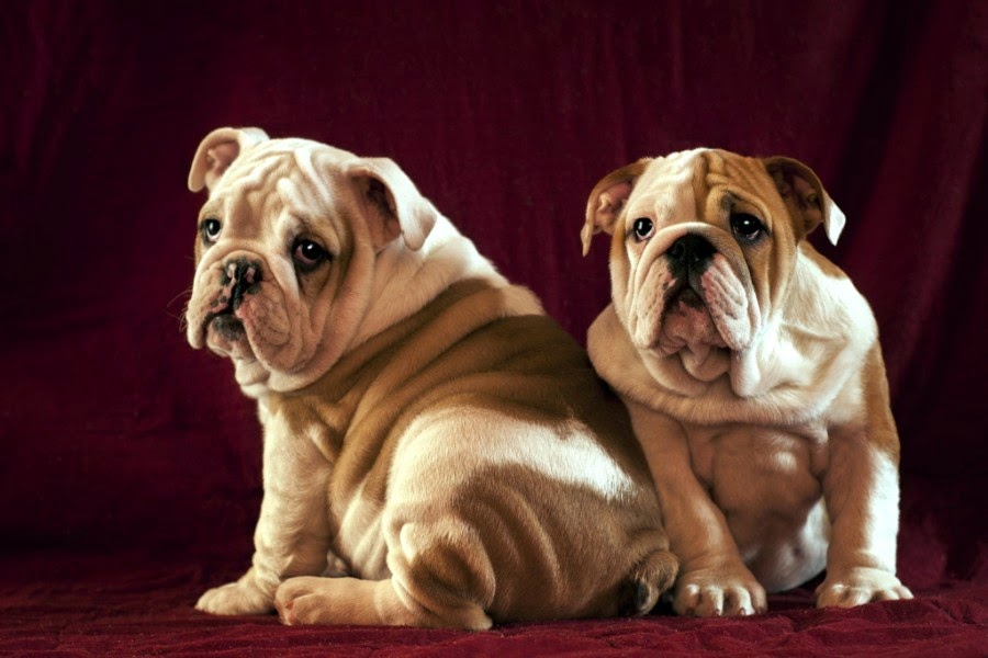 Most Adorable Wrinkled Dogs