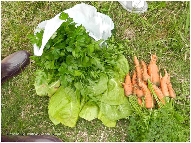 Cosecha de perejil, acelga y zanahoria - Chacra Educativa Santa Lucía