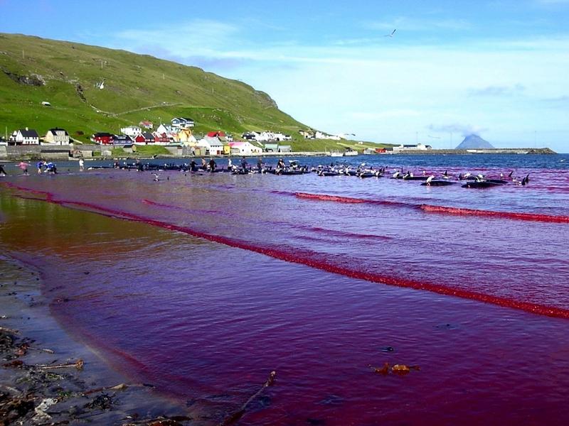 Matanza de ballenas en las Islas Feroe 19