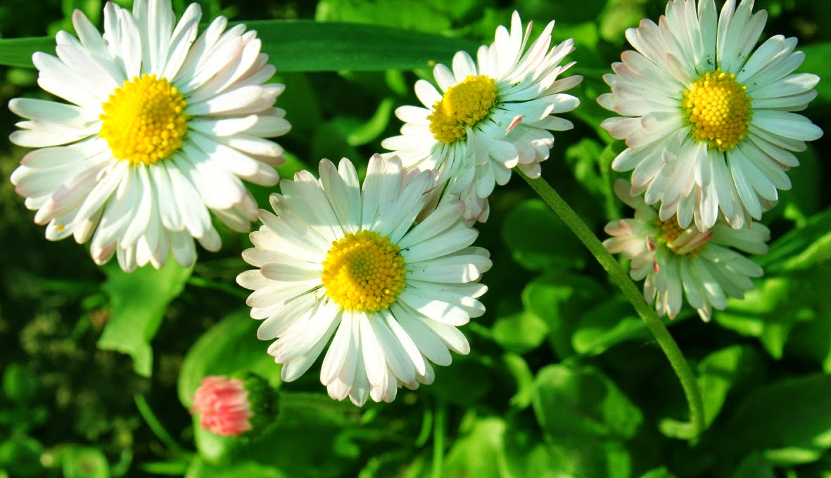 садоые цветы