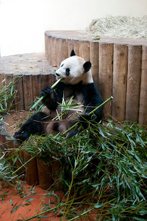 Giant panda eating bamboo at Edinburgh Zoo Scotland
