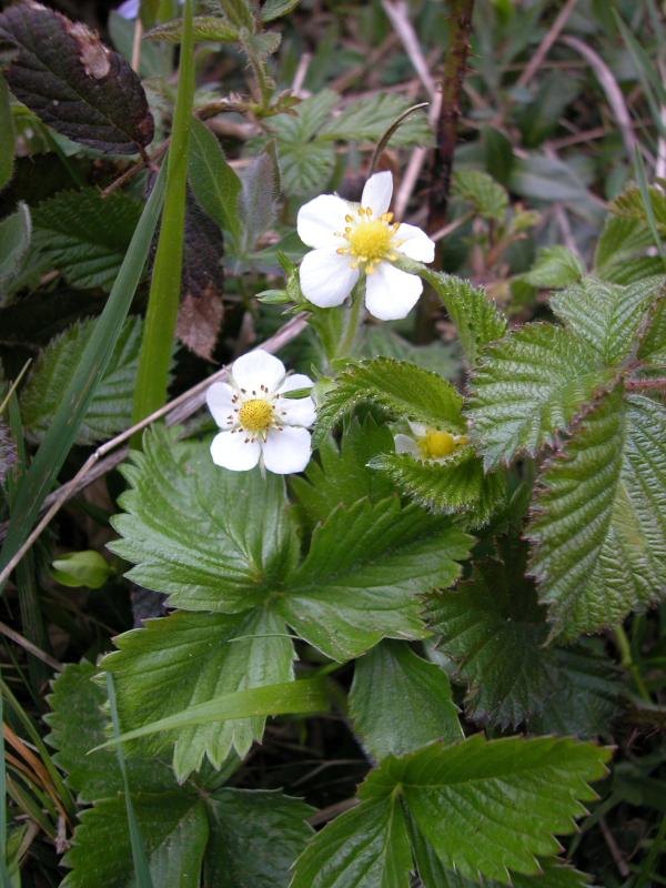 Les petites herbes les plantes sauvages du bois d aigrefoin et les plantes cultiv es par le - Jonquille sauvage des bois ...