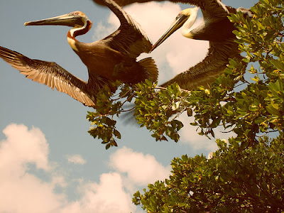 Pelicans, Everglades National Park