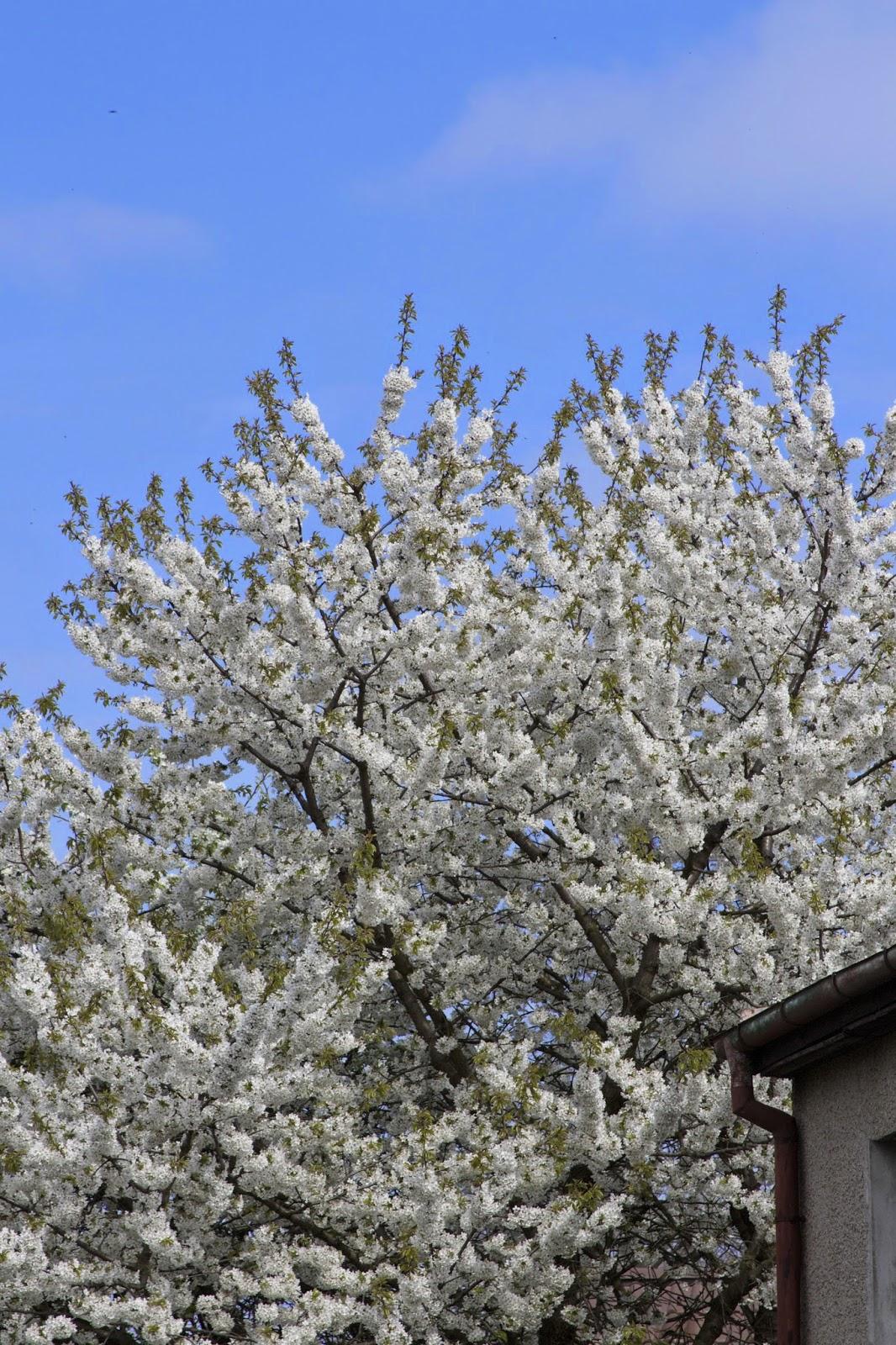 big white blooming tree