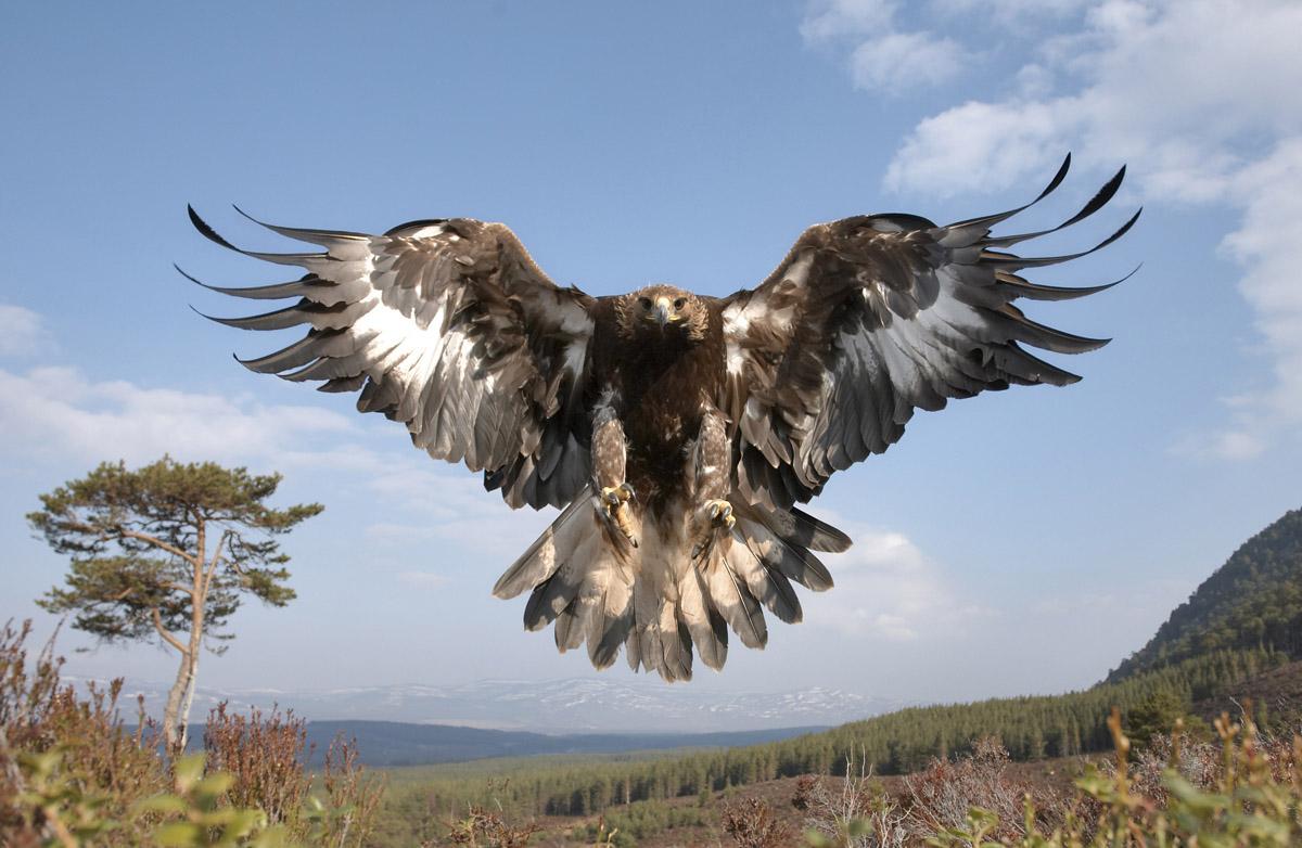 http://4.bp.blogspot.com/-TO0OEqxmeho/Te4s-jYRP9I/AAAAAAAABkE/_3kKLXPEBZ4/s1600/golden-eagle-%2002.jpg