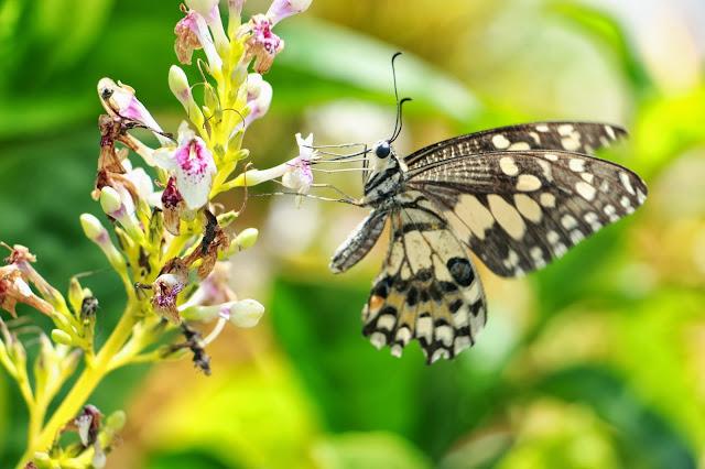 Mariposa thailandesa fotografía baimai pp para fotosmacro.blospot.com
