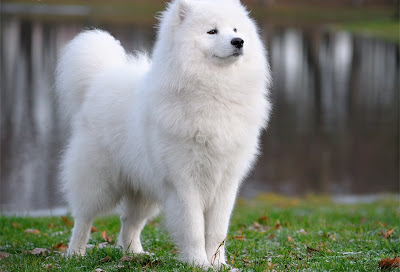 majestic-samoyed-dog-photo