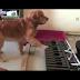 ΔΕΙΤΕ ΤΟ ΒΙΝΤΕΟ! Στους σκύλους αρέσει πολύ η κλασσική μουσική...
