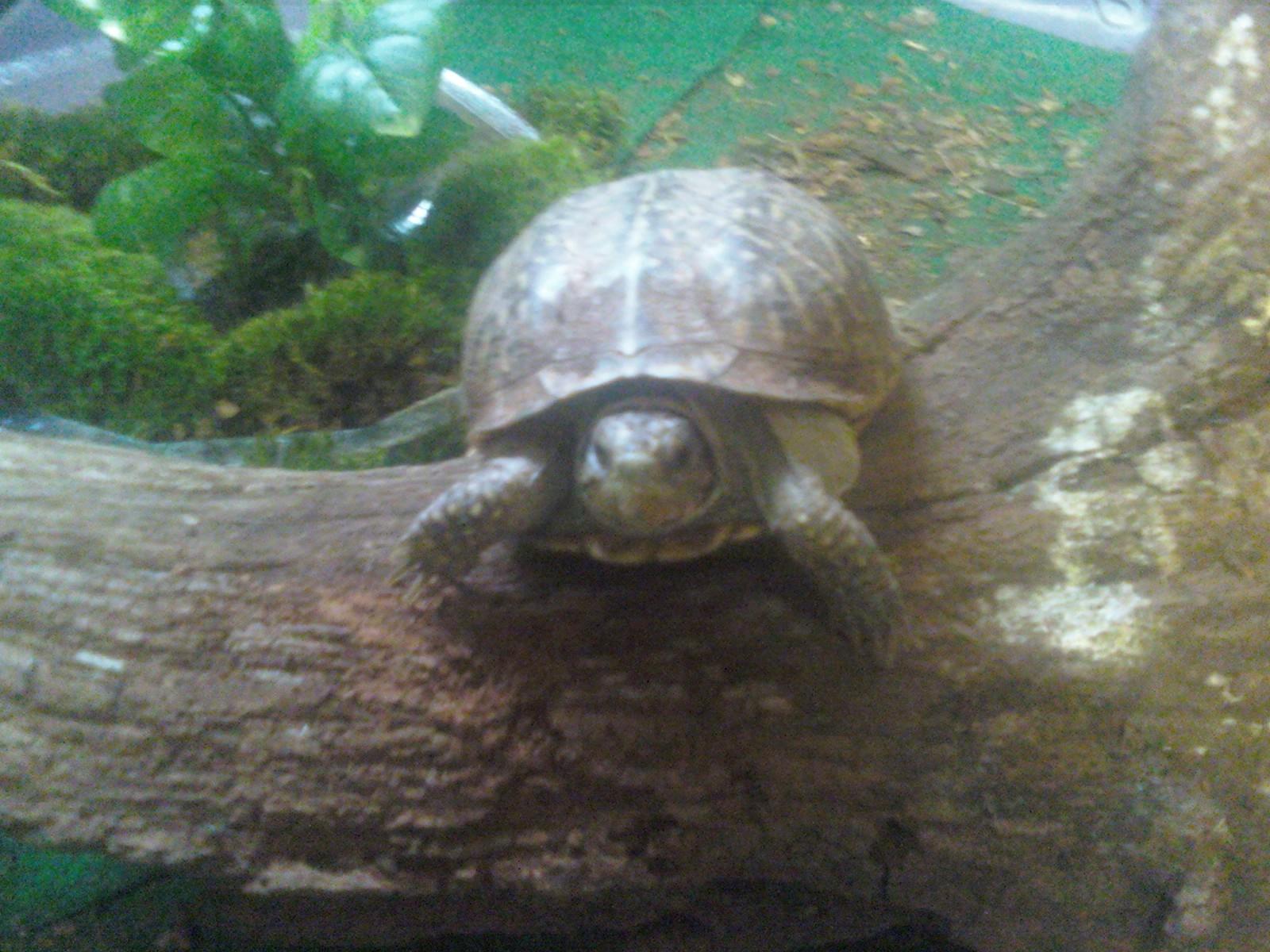 Baby Box Turtles Habitat Eastern box turtles are