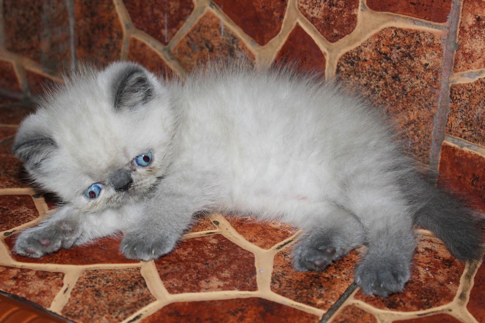 Harga Anak Kucing Persia Anggora Segitu Petshop