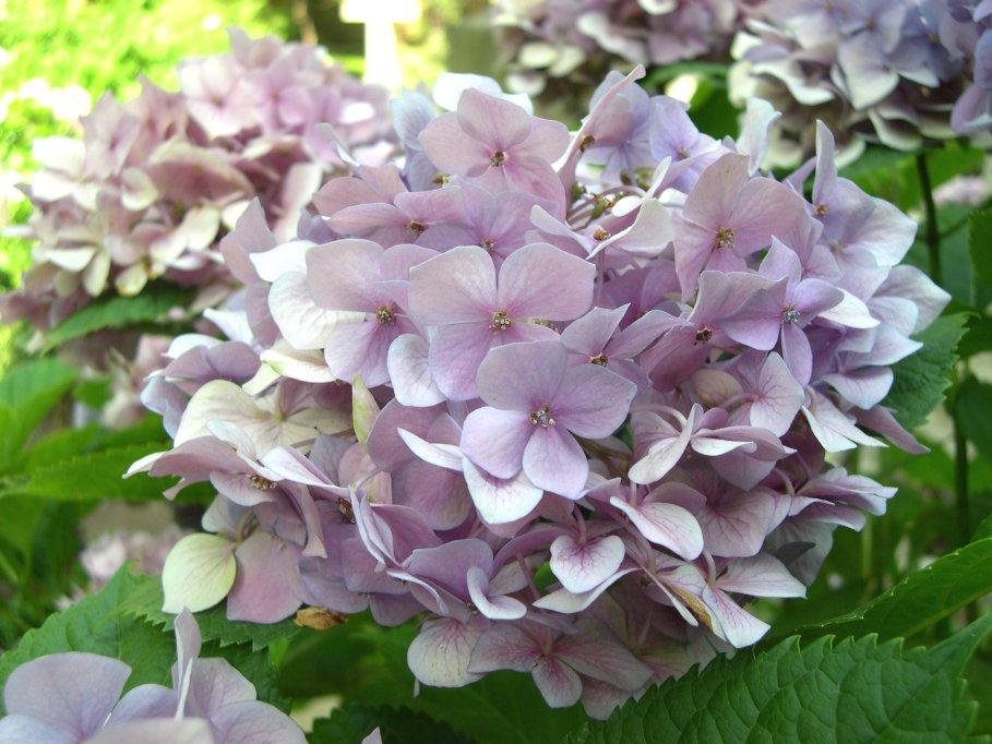 Foto del fiore di ortensia