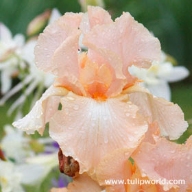 http://www.tulipworld.com/bearded-iris-rhizomes/beverly-sills-reblooming-iris.html