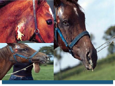 Glanders in horses