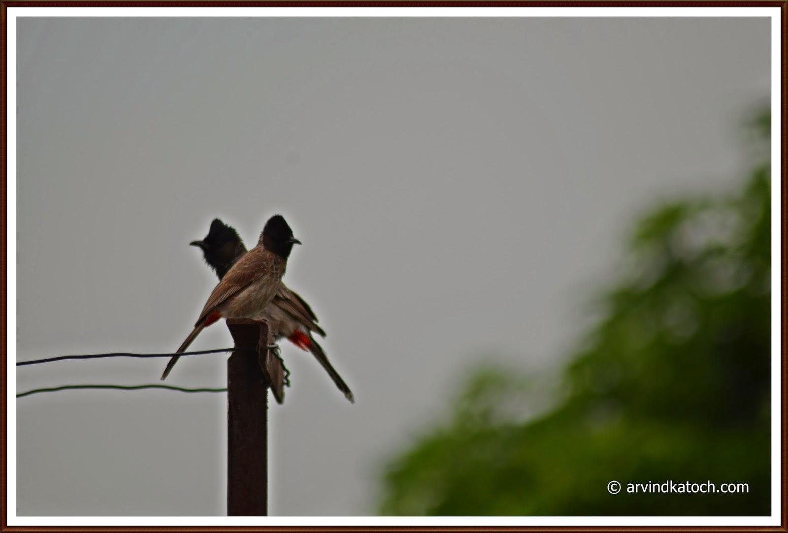 Love birds, Red vented Bulbul, Bulbul,