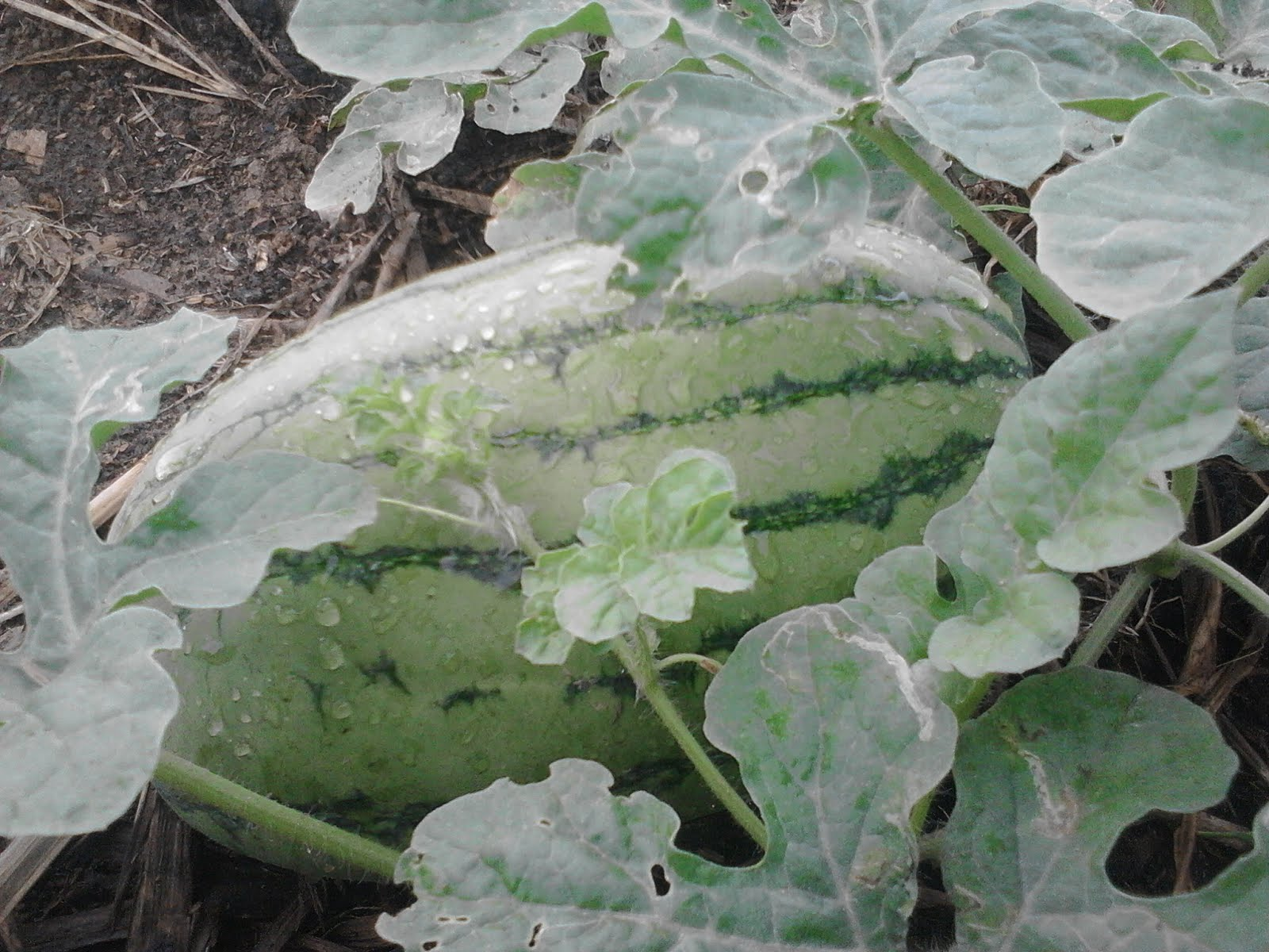 Buah semangka berumur 8-11 hari sejak muncul bakal buah betatnya baru mencapai 3-4kg