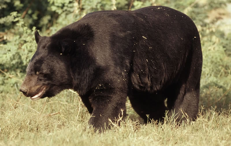 Http Animal Wildlife Blogspot Com 2011 10 Asian Black Bear Html
