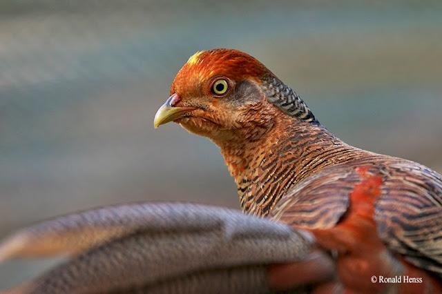 Vögel Vogelfotos Goldfasan Weibchen