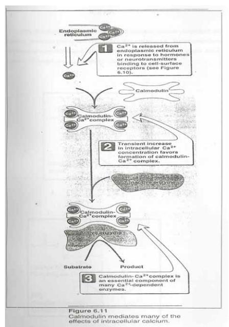 Mekanisme kerja Ca2+ dan Kalmodulin