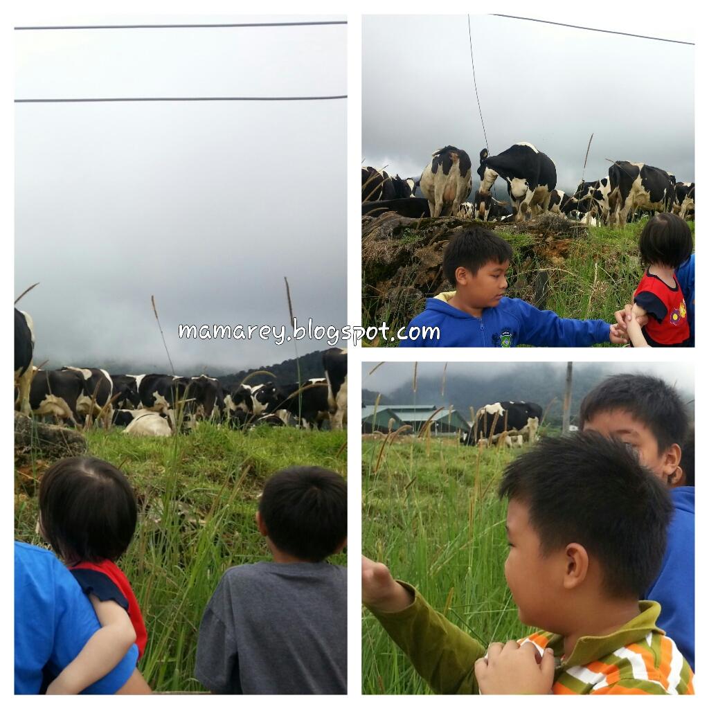 Desa Cattle,Mesilau,Kundasang