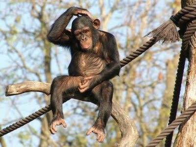 chimp most funny new photos images pets cute and docile