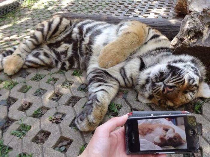 Funny animals of the week - 14 February 2014 (40 pics), tiger cub sleeps like a cat