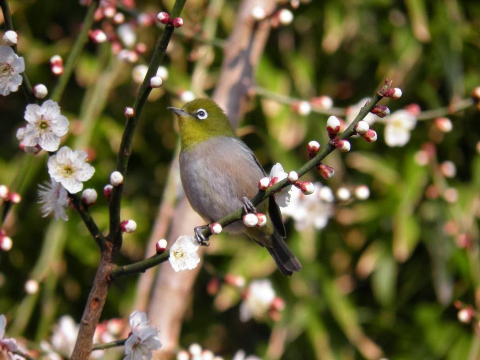 田舎暮らし ブログのメジロと梅の花