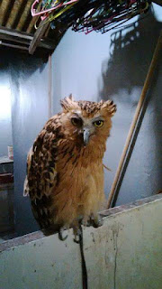 buy baby owl,  where to buy a pet owl,  buy a baby owl,  how much are owls to buy,  white owl bird price,  jual celepuk putih,  jenis jenis celepuk,  jual barn owl putih,  where to buy an owl for a pet,  where to buy owl,  owl to buy,  where to buy a owl,  barn owl chicks for sale,  barn owl dijual,  jual beli owl,  jual barn owl chick,  jual owl surabaya,  cara merawat buffy fish owl,  buy owl pet,  buying owls,  buy owls online,  owls to buy,  where to buy a baby owl,  i want to buy an owl,  buying a pet owl,  how much is an owl to buy,  owl price pet,  owl pet price,  komunitas owl,  jual celepuk jakarta,  jual beli barn owl,