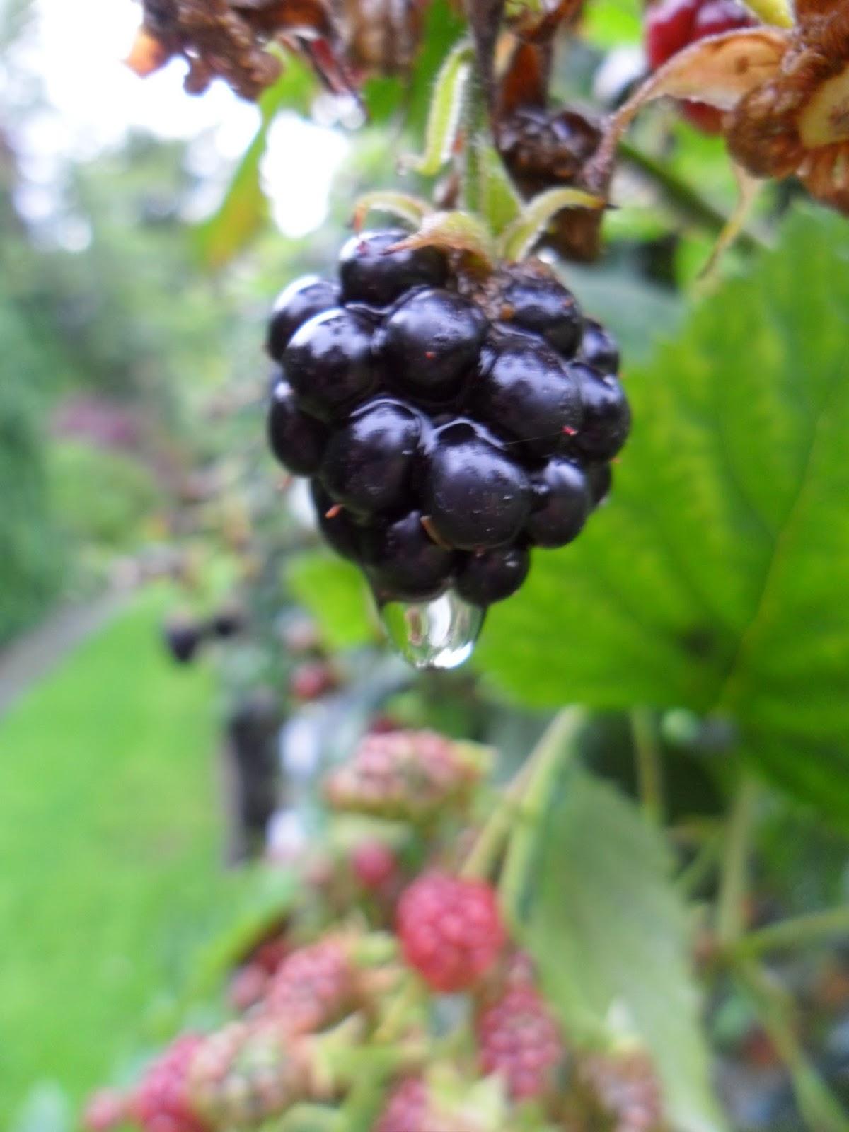 blackberries childhood Blackberry and hybrid berries blackberry plants hybrid berry plants many  people will have fond childhood memories of picking blackberries from wild.