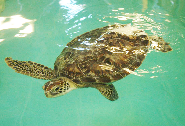 Sea Life, SEA LIFE MI, rescue, animal rescue, Auburn Hills, Benson, turtle